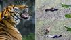 ಸತ್ತಂತೆ ನಟಿಸಿ ಹುಲಿ ಬಾಯಿಂದ ಬಚಾವ್ ಆದ!: ವೀಡಿಯೋ ವೈರಲ್