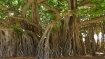 ನೀಳ ಕೇಶ, ಹೊಳೆಯುವ ತ್ವಚೆಗೆ ಆಲದ ಮರದ ಎಲೆಯನ್ನೊಮ್ಮೆ ಬಳಸಿ ನೋಡಿ