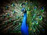 ವಾಸ್ತು ಟಿಪ್ಸ್: ನವಿಲು ಗರಿಯಿಂದ ಜೀವನದಲ್ಲಿ ಶಾಂತಿ-ನೆಮ್ಮದಿ ಪಡೆಯಬಹುದು!