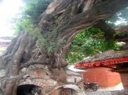 ಅಶ್ವತ್ಥ ಮರದ ತೊಗಟೆಯಿಂದ ಆರೋಗ್ಯಕ್ಕಿದೆ ಸಾಕಷ್ಟು ಲಾಭ