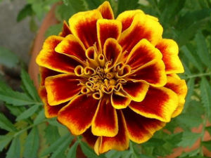 Marigold Flower for Good Eyesight