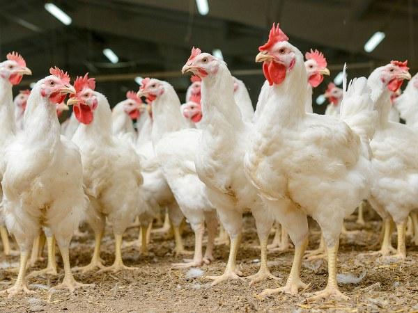 ಫಾರಂ ಕೋಳಿಗಳ ಮಾಂಸ ವಿಷದಷ್ಟೇ ಅಪಾಯಕಾರಿ...! | Horrifying Facts About Chicken Meat - Kannada BoldSky
