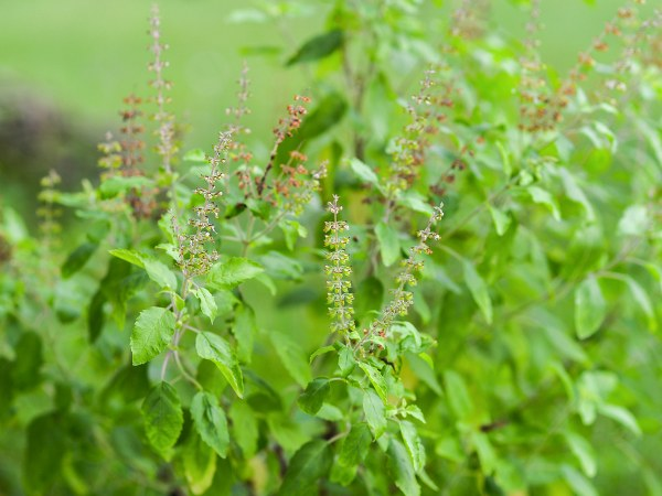 Benefits Of Tulsi For Skin And Hair Problem