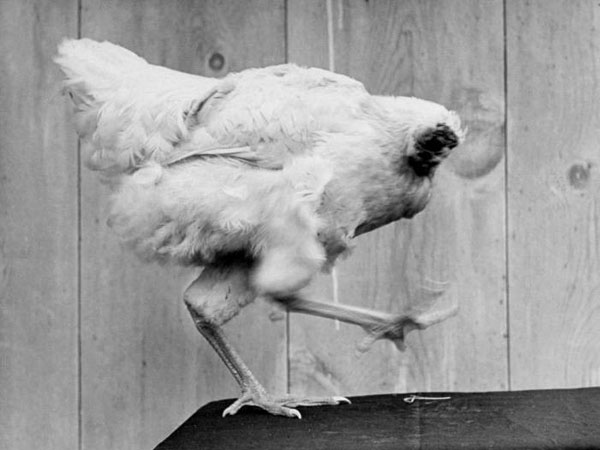 Chicken That Lived For 18 Months Without A Head