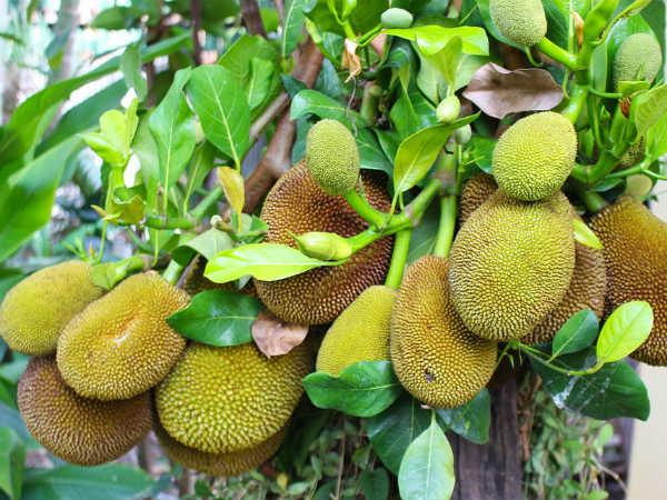 Is It Safe Eat Jackfruit During Pregnancy