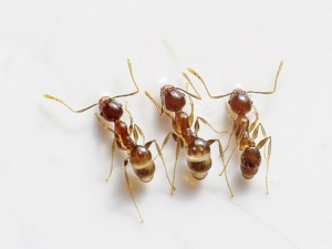 Home Remedies That Get Rid Kitchen Ants