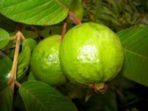 ಮನೆ ಔಷಧ: ಔಷಧಿ ಗುಣಗಳ ಆಗರ 'ಸೀಬೆ ಹಣ್ಣು'