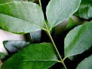 Curry Leaves Pudi Healthy Recipe