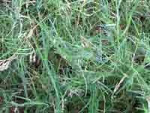 Garike Grass Benefits And Health Tips