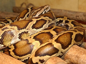 Man Arrested For Biting Pet Python Aid
