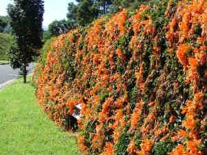 How To Grow Pyrostegia Venusta Plants Aid