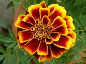 Marigold For Good Eyesight Aid