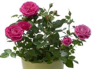 Indoor Rose Plant Aid