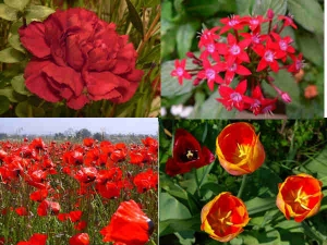 Red Flowers Make Gardens Even More Colourful