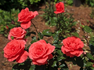 Gardening Rose Flower Summer Tips