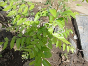 Best Health Benefits Curry Leaves