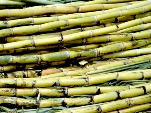 Significance Sugarcane Harvest Festival