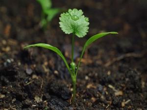 Growing Coriander Your Garden