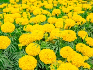 Suffering Itchy Scalp Fix It With Marigold Flowers