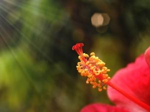 Ayurvedic Tips Hibiscus Flower Health