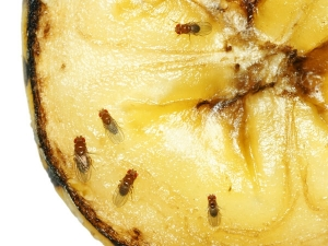 Home Ingredients Get Rid Fruit Flies.html