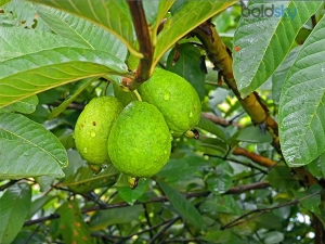 Can Guava Extremely Stop 100 Hair Loss