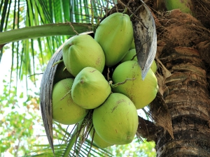 What Happens When You Drink Coconut Water Fifteen Days