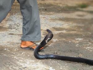 Quick Tip Emergency Alternative Medicine Snake Bites