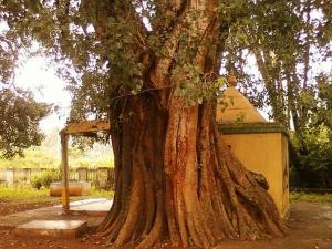 Amazing Health Benefits Peepal Tree Leaf