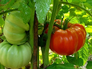 Simple Tips Keep Mind While Growing Tomatoes