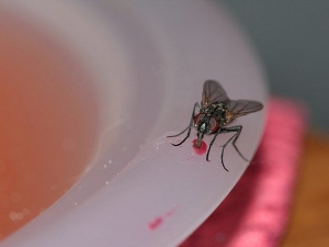 Houseflies Can Spread These Diseases Be Careful