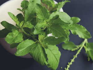 Tulsi Is A Powerful Herbal Immunity Booster