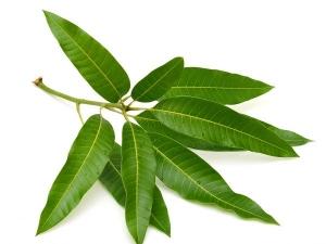 Astonishing Health Benefits Of Mango Leaves