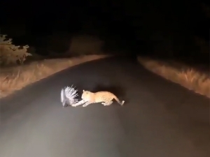 Leopard And Porcupine Deadly Battle Video Goes Viral