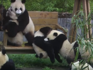 Cute Pandas Funny Activities Sure Make You Fall In Love With
