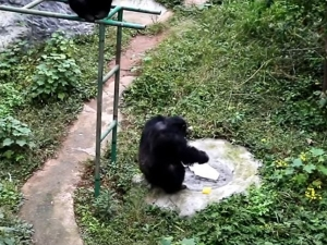 This Viral Video Of Chimpanzee Washing A Clothes