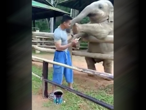 So Cute Video Of Baby Elephant Playing With A Man Goes Viral