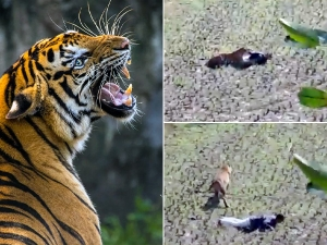 Man Pretend Dead To Protect Himself From Tiger