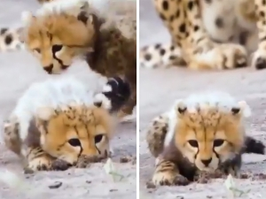 Cheetah Cubs Learn Hunting Skills In Adorable Viral Video