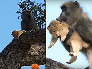 Baboon Take Lion Cub To Top Of The Tree
