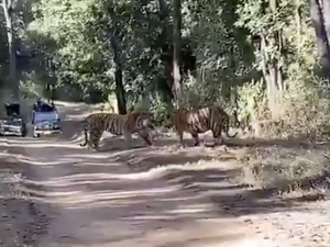 Tigers Fight For Territory In Thrilling Viral Video