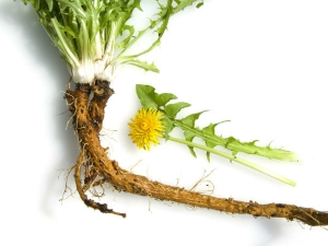 How Dandelion Root Is Good For Your Health