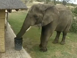 Viral Video Elephant Picks Waste And Puts It Dustbin Twitter Hails It As Mascot Of Swachh Bharat