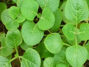 How To Use Oregano Leaves To Boost Immunity In Kannada