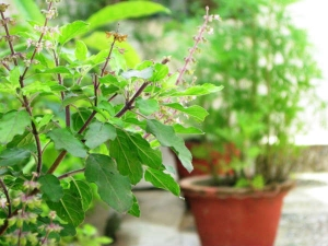 Tulsi Plant Importance In Hindu Dharm And Know Rules Before Plucking Basil Leaves In Kannada