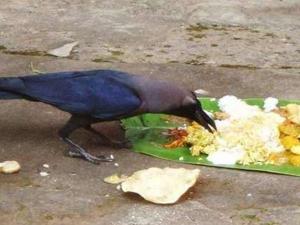 Pitru Paksha Crow Significance Why We Feed Crows In Shradh