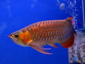 Vastu Tips Arowana Fish Can Bring Happiness And Prosperity To Your Home
